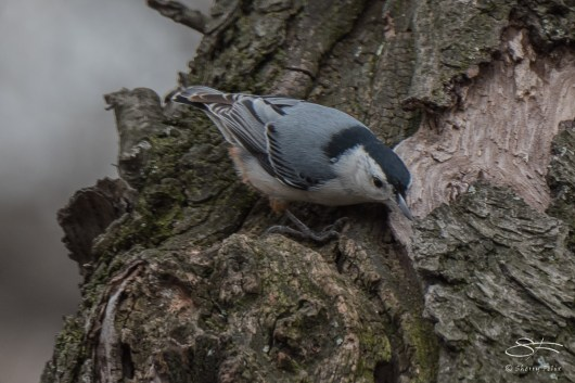 6 White-breasted Nuthatch, Central Park 3/23/2016
